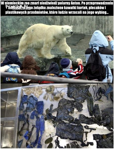 Tak dokarmiali niedźwiedzia polarnego
